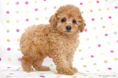 トイプードルの子犬(ID:1236011190)の3枚目の写真/更新日:2018-02-19