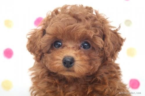 トイプードルの子犬(ID:1236011191)の1枚目の写真/更新日:2018-02-19