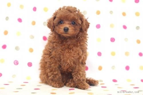 トイプードルの子犬(ID:1236011191)の2枚目の写真/更新日:2018-02-19