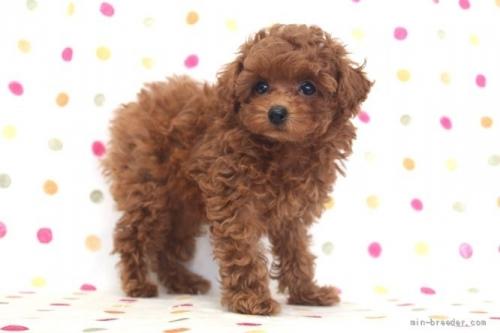 トイプードルの子犬(ID:1236011191)の3枚目の写真/更新日:2018-02-19