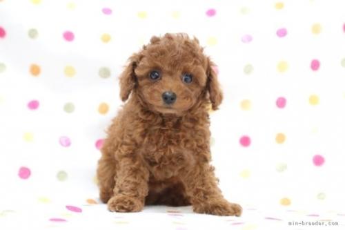 トイプードルの子犬(ID:1236011194)の2枚目の写真/更新日:2021-09-11