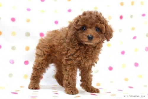 トイプードルの子犬(ID:1236011194)の3枚目の写真/更新日:2021-09-11