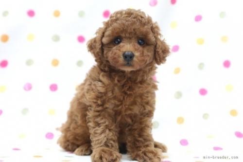 トイプードルの子犬(ID:1236011195)の2枚目の写真/更新日:2021-07-31