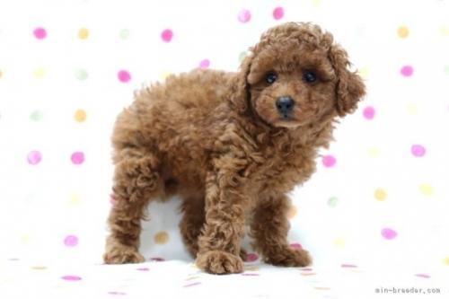 トイプードルの子犬(ID:1236011195)の3枚目の写真/更新日:2021-07-31