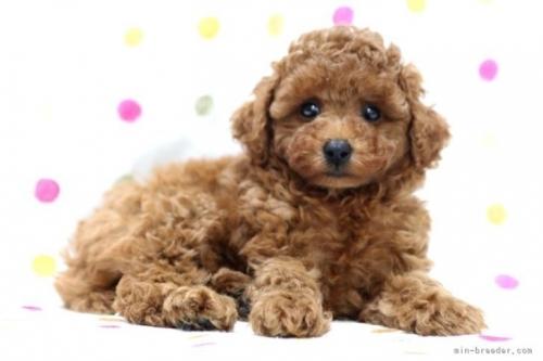 トイプードルの子犬(ID:1236011195)の4枚目の写真/更新日:2021-07-31