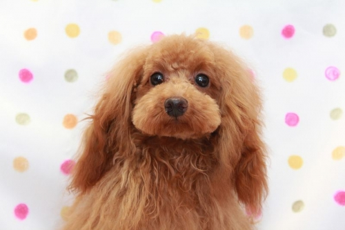 トイプードルの子犬(ID:1236011197)の1枚目の写真/更新日:2018-03-22