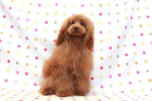 トイプードルの子犬(ID:1236011197)の2枚目の写真/更新日:2018-03-22