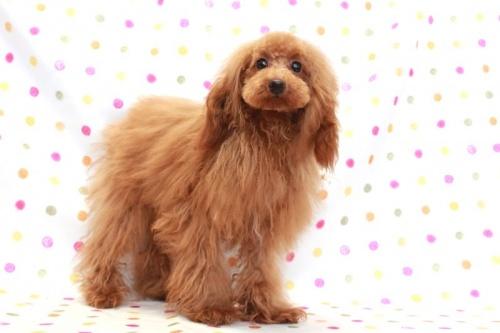 トイプードルの子犬(ID:1236011197)の3枚目の写真/更新日:2018-03-22