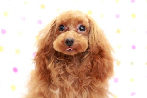 トイプードルの子犬(ID:1236011198)の1枚目の写真/更新日:2018-03-22