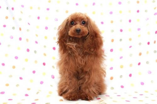 トイプードルの子犬(ID:1236011198)の2枚目の写真/更新日:2018-03-22