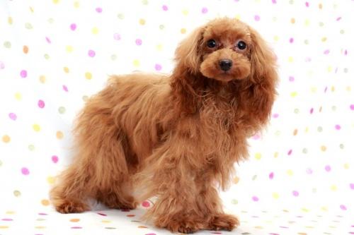 トイプードルの子犬(ID:1236011198)の3枚目の写真/更新日:2018-03-22