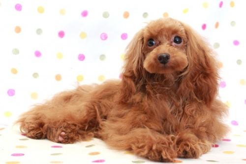 トイプードルの子犬(ID:1236011198)の4枚目の写真/更新日:2018-03-22