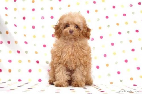トイプードルの子犬(ID:1236011205)の2枚目の写真/更新日:2019-07-24