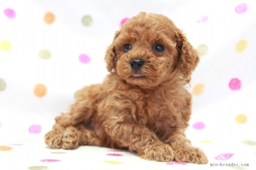 トイプードルの子犬(ID:1236011205)の3枚目の写真/更新日:2019-07-24