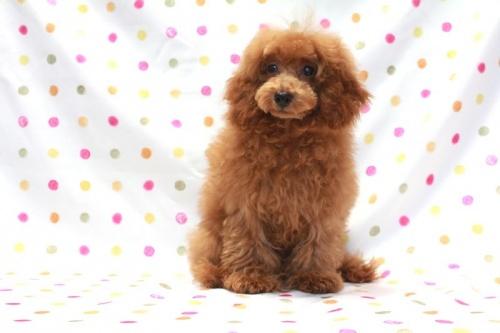 トイプードルの子犬(ID:1236011207)の1枚目の写真/更新日:2018-06-24