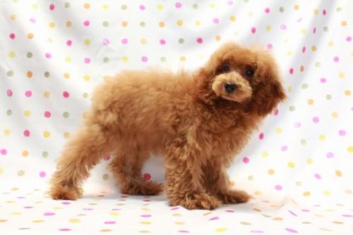 トイプードルの子犬(ID:1236011207)の2枚目の写真/更新日:2018-06-24