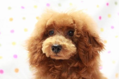 トイプードルの子犬(ID:1236011207)の3枚目の写真/更新日:2018-06-24