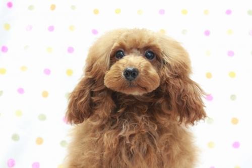 トイプードルの子犬(ID:1236011208)の1枚目の写真/更新日:2018-08-17