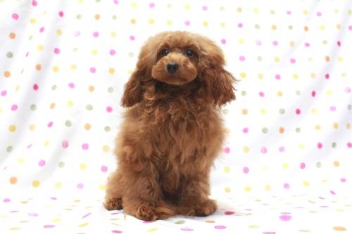 トイプードルの子犬(ID:1236011208)の2枚目の写真/更新日:2018-08-17