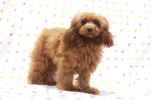 トイプードルの子犬(ID:1236011208)の3枚目の写真/更新日:2018-08-17