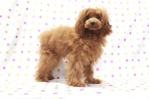 トイプードルの子犬(ID:1236011209)の3枚目の写真/更新日:2018-08-17