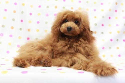 トイプードルの子犬(ID:1236011209)の4枚目の写真/更新日:2018-08-17