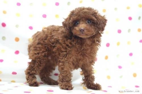トイプードルの子犬(ID:1236011210)の3枚目の写真/更新日:2018-08-17
