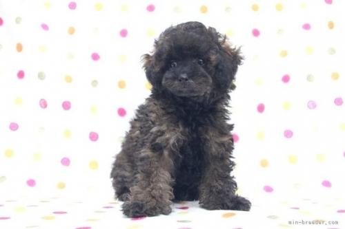 トイプードルの子犬(ID:1236011211)の2枚目の写真/更新日:2018-08-17