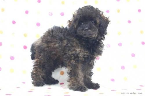トイプードルの子犬(ID:1236011211)の3枚目の写真/更新日:2018-08-17