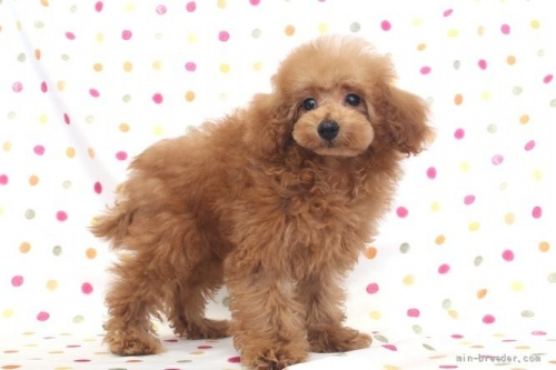 トイプードルの子犬(ID:1236011213)の3枚目の写真/更新日:2018-10-20