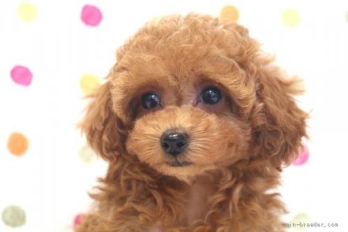 トイプードルの子犬(ID:1236011214)の1枚目の写真/更新日:2018-10-20