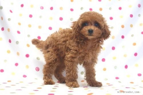 トイプードルの子犬(ID:1236011214)の3枚目の写真/更新日:2018-10-20