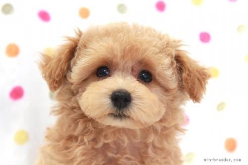 トイプードルの子犬(ID:1236011215)の1枚目の写真/更新日:2018-10-20