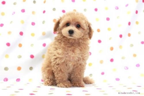 トイプードルの子犬(ID:1236011215)の2枚目の写真/更新日:2018-10-20
