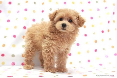 トイプードルの子犬(ID:1236011215)の3枚目の写真/更新日:2018-10-20