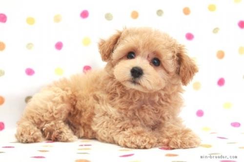 トイプードルの子犬(ID:1236011215)の4枚目の写真/更新日:2018-10-20