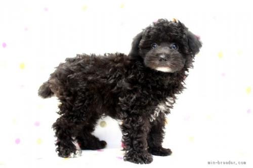 トイプードルの子犬(ID:1236011216)の1枚目の写真/更新日:2018-10-20