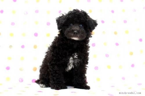 トイプードルの子犬(ID:1236011216)の2枚目の写真/更新日:2018-10-20