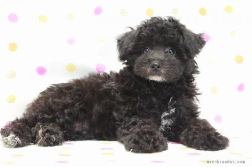 トイプードルの子犬(ID:1236011216)の3枚目の写真/更新日:2018-10-20