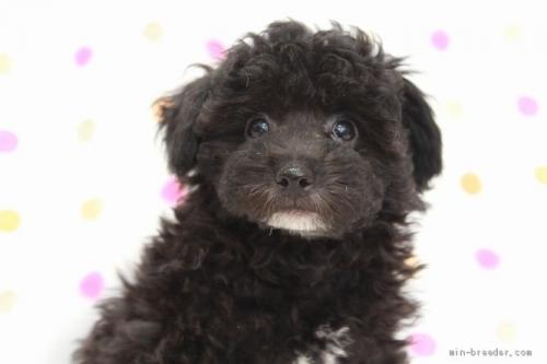 トイプードルの子犬(ID:1236011216)の4枚目の写真/更新日:2018-10-20
