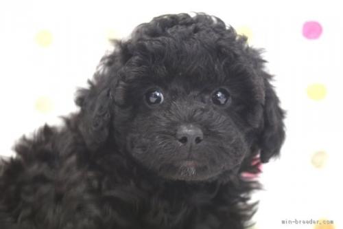 トイプードルの子犬(ID:1236011217)の1枚目の写真/更新日:2018-10-20