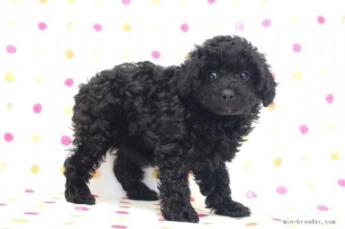トイプードルの子犬(ID:1236011217)の3枚目の写真/更新日:2018-10-20