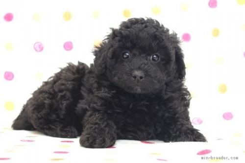 トイプードルの子犬(ID:1236011217)の4枚目の写真/更新日:2018-10-20