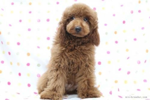 トイプードルの子犬(ID:1236011218)の2枚目の写真/更新日:2018-10-20