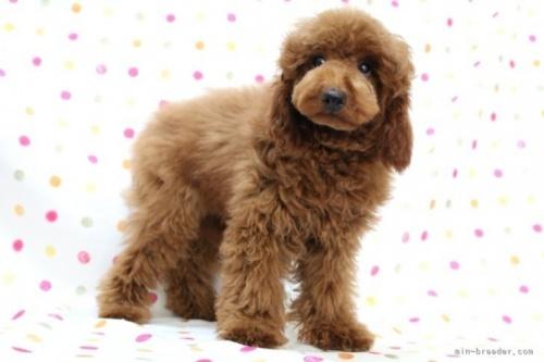 トイプードルの子犬(ID:1236011218)の3枚目の写真/更新日:2018-10-20