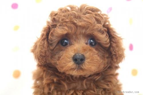 トイプードルの子犬(ID:1236011219)の1枚目の写真/更新日:2018-10-21