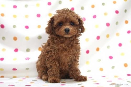 トイプードルの子犬(ID:1236011220)の2枚目の写真/更新日:2018-10-21