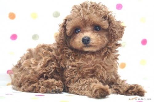 トイプードルの子犬(ID:1236011220)の4枚目の写真/更新日:2018-10-21