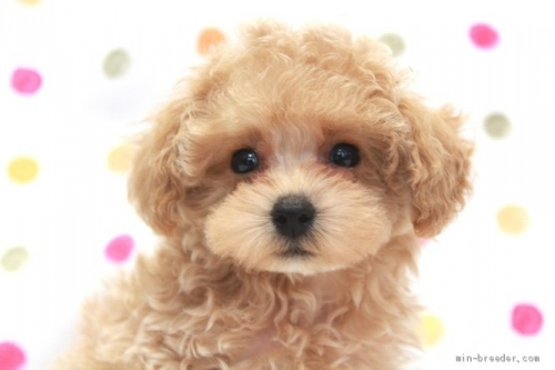 トイプードルの子犬(ID:1236011221)の1枚目の写真/更新日:2018-10-21