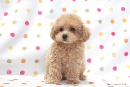 トイプードルの子犬(ID:1236011221)の2枚目の写真/更新日:2018-10-21